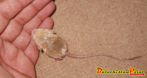 Pygmy Jerboa: World's Tiniest Mouse Found in Balochistan